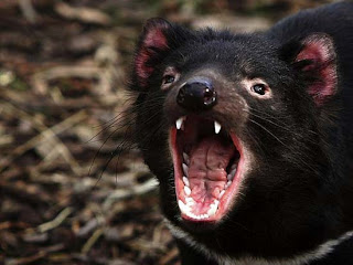 Foto Tasmanian Devils Meraung