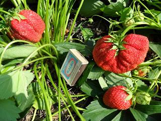 Первые ягоды клубники самые крупные
