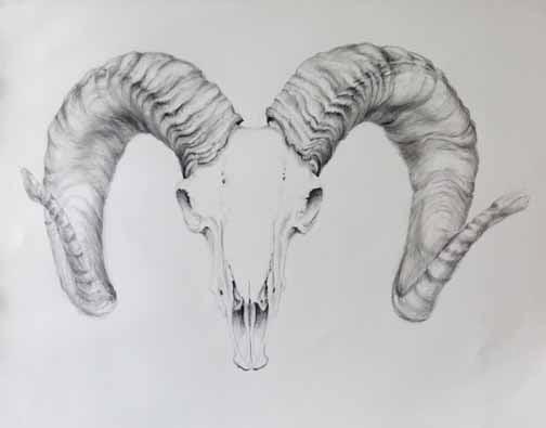 Sheep Horns Drawing Big Horn Sheep Skull in Pencil