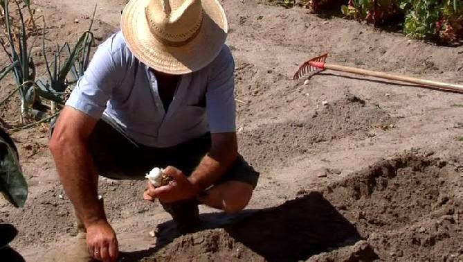 Como plantar ajo