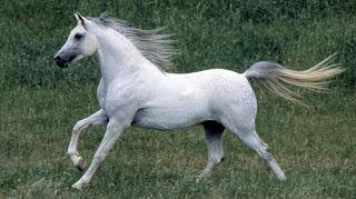 Imagenes de caballos pura sangre