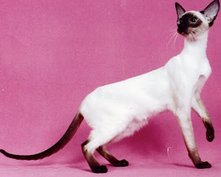 siamase cat kitten puss pussy pussycat grimalkin kat mace pisik kotka gat macka kocka kass pusa kissa gato katze macska kottur kakis kate qattus kot pisica macka katt kedi con meo kucing pets, huisdieren, animaux de compagnie, Haustiere, animais, Animale de companie, animales domesticos, husdjur, Evcil Hayvan, anifeiliaid anwes, domace zvali, binatang kesayangan, augintiniai, animali domestici, peatai, bet kay, lemmikit, mga alagang hayop, domaci zvirata, kucni ljubimci, animals domestics, maskotak, binatang peliharaan wallpaper