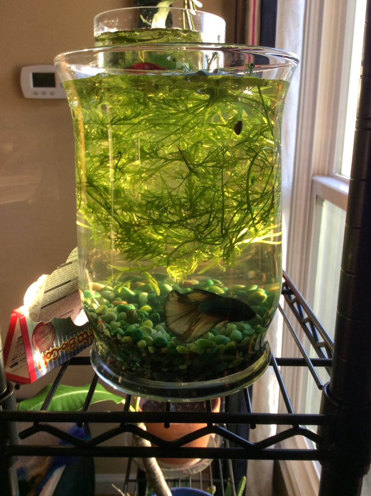 The lents farmer fish in a vase or my non ygp post for Best water for betta fish