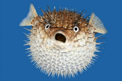 Ikan Buntal - Sekitar Dunia Unik