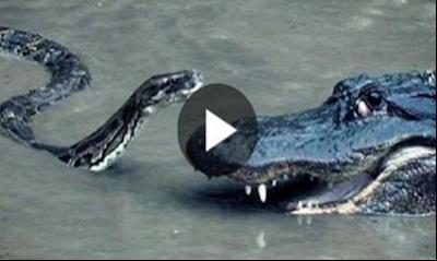 بالفيديو صراع بين ثعبان الكبرا ضد التمساح ونتيجة الصراع غير متوقعه