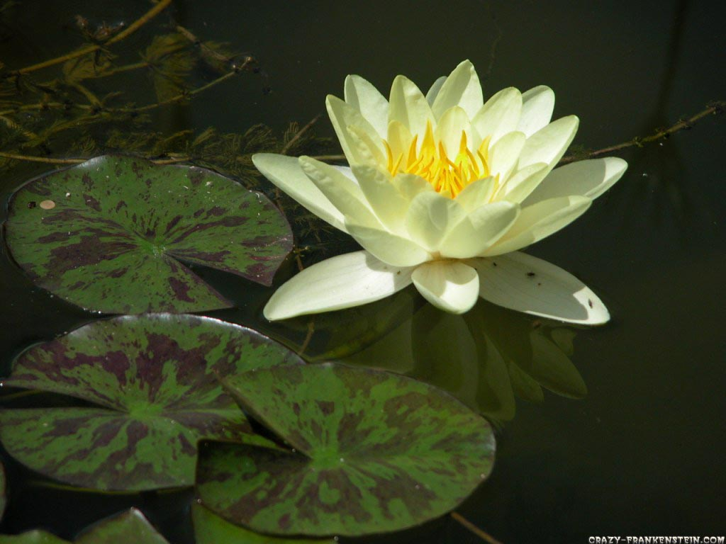 yellow water lily flower - photo #30