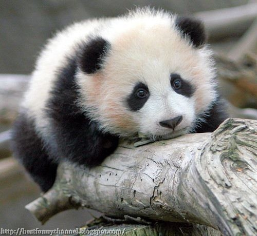 Funny panda baby.