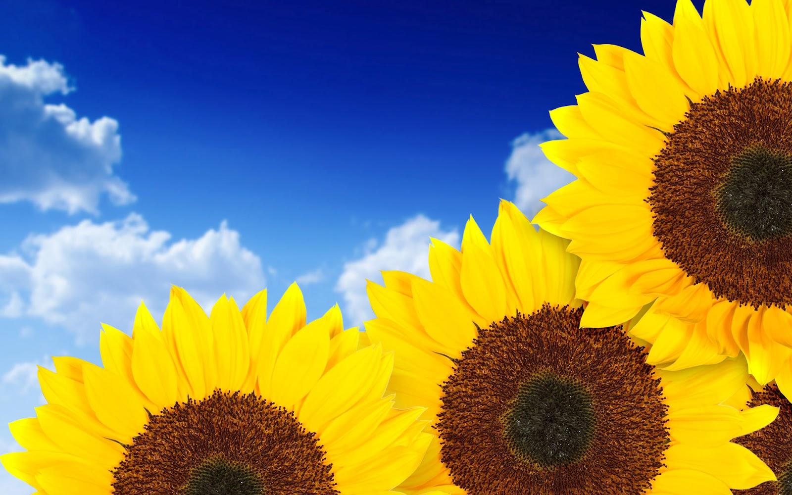 summer sunflowers andrea - photo #46