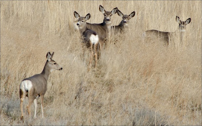 Palouse deer.