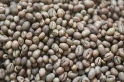 Proses cara membuat kopi luwak kopi telek luwak yg mendunia