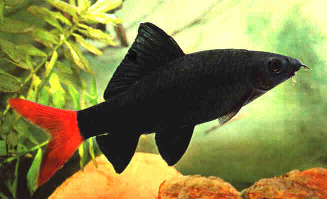 Aquarium fish red tailed black shark for Red tail shark fish