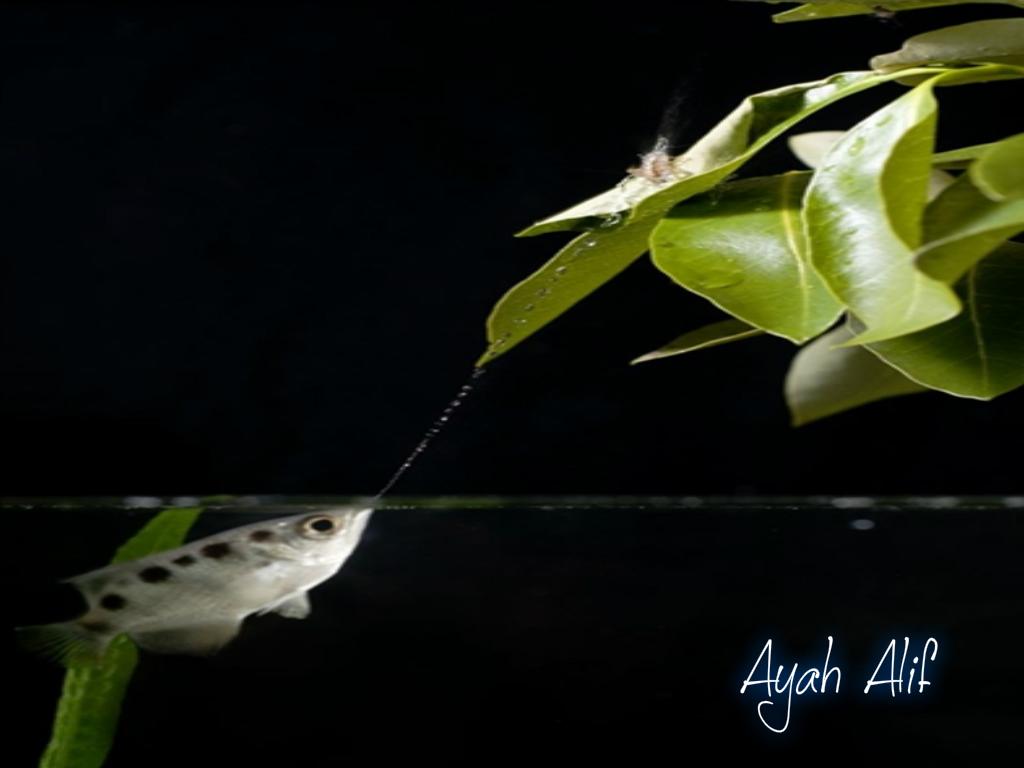 gambar ikan - gambar ikan pemanah