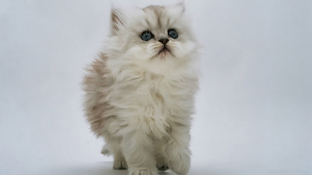 Kitten Desktop