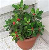 Manfaat tanaman Euphorbia bagi kesehatan