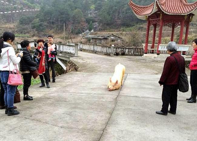 cerdo arrodilla templo horas