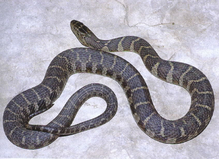 Snakes: Northern Water Snake