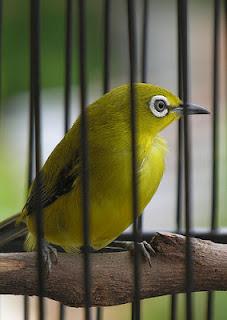 Ciri ciri burung pleci jantan|Paruhnya panjang dan agak tebal
