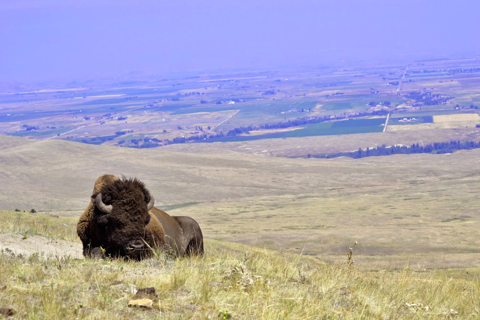 A Bison relaxes by the side of the road
