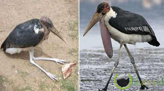 Burung Marabou Stork