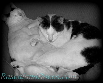 Rascal and Rocco cats snuggling together