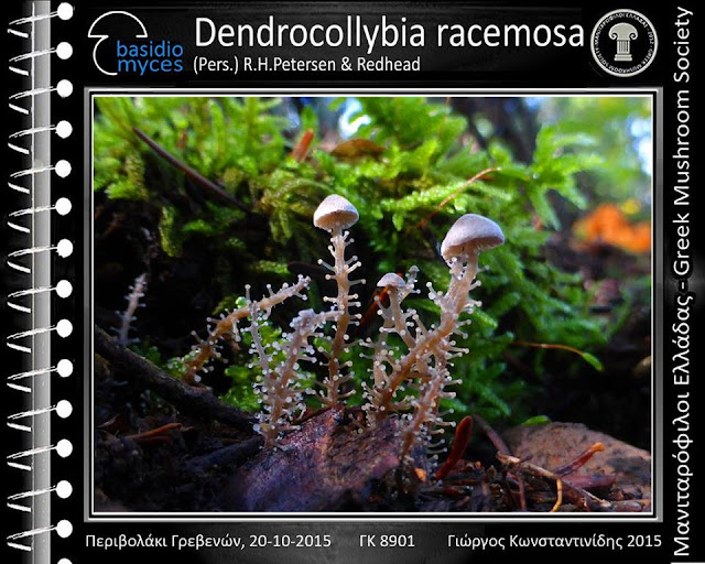Dendrocollybia racemosa (Pers.) R.H.Petersen & Redhead