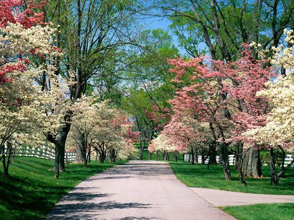 Beautiful Spring Dogwood Tree