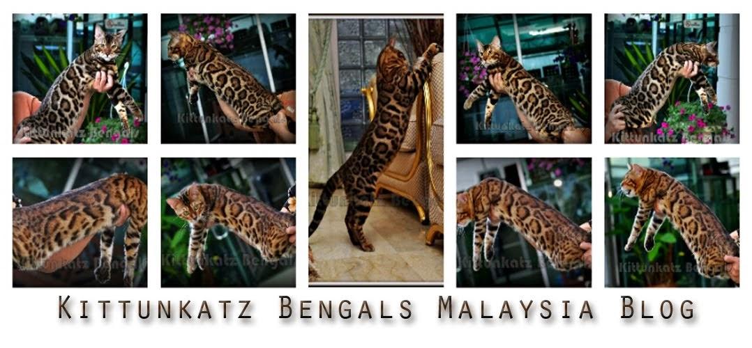 Kittunkatz Bengal Cattery Malaysia BLOG