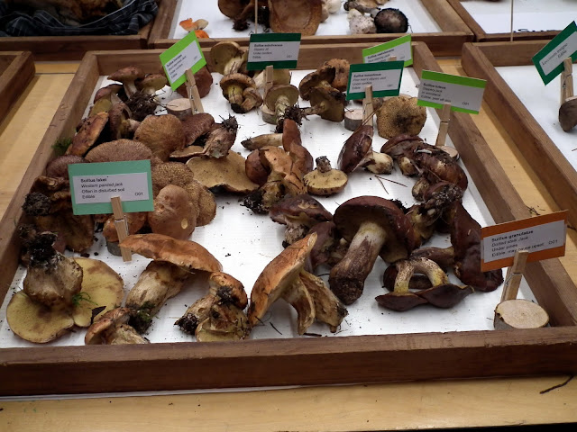 Suillus varieties - not all of them edible mushrooms