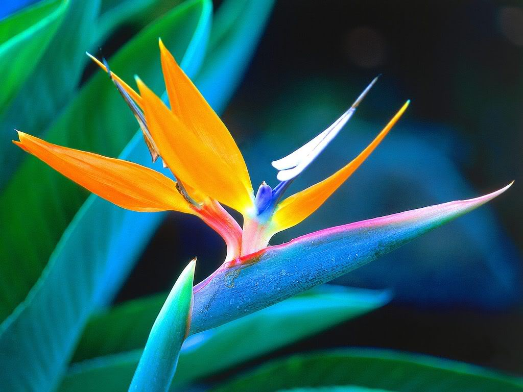 Beautiful Flowers Bird Of Paradise Flowers Pictures Meanings