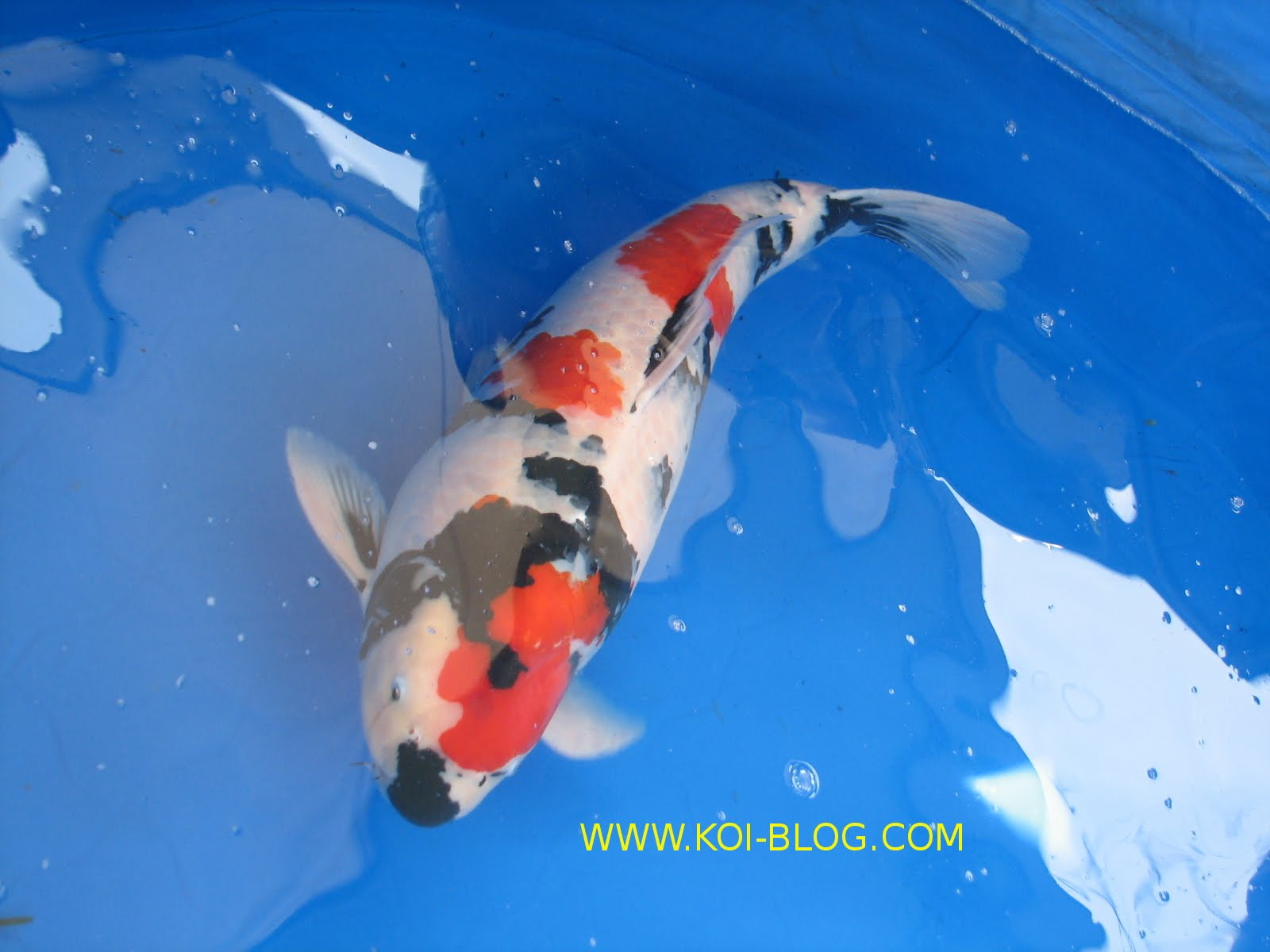 Koi blog champion showa for Champion koi fish
