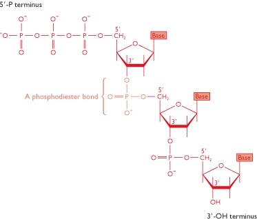 Dna3g kedua untai molekul heliks ganda ini yang masing masing mempunyai polaritas bersifat atiparalel yaitu satu untai dna berjalan dari arah 5 ke 3 sementara ccuart Images