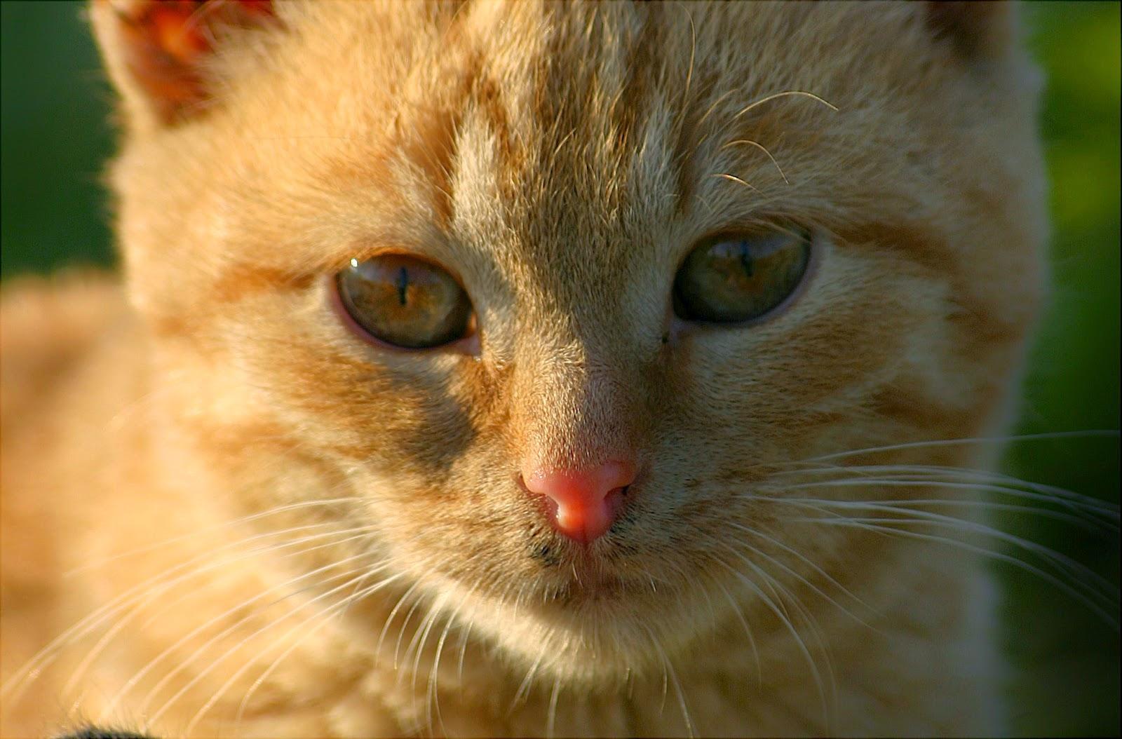 kocie dźwięki, mruczenie które leczy, dlaczego kot mruczy,