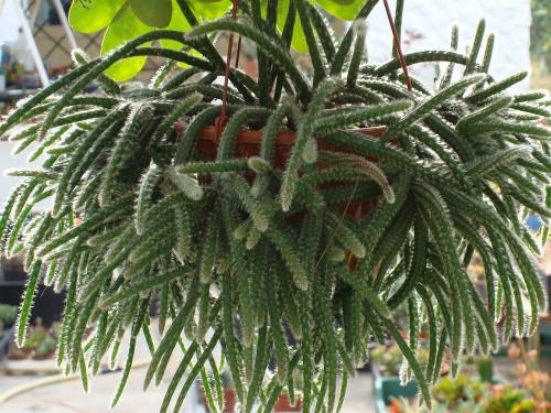 Arte y jardiner a los cuidados correctos de los cactus for Nombres de cactus