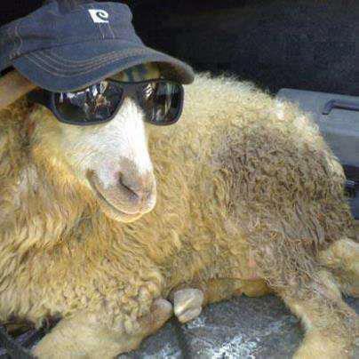 qurbani sheep - photo #46