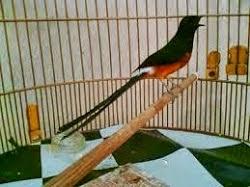 gambar burung murai batu juara - foto hewan