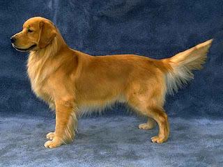 Golden Retriever – Loài chó được ưa chuộng nhất tại Mỹ