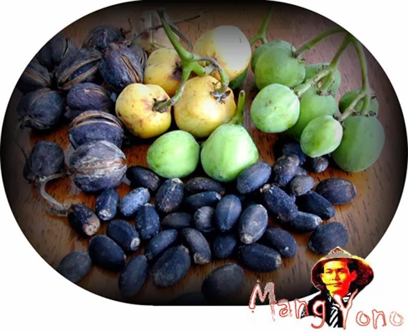 Makan buah Jatropha Curcas (Jarak Pagar) bikin weureu / keracunan