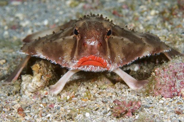 ... Tides: Creature Feature: Rosy-lipped Batfish (Ogcocephalus porrectus