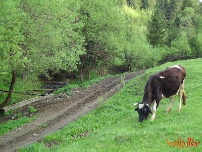 Vaca langa troaca