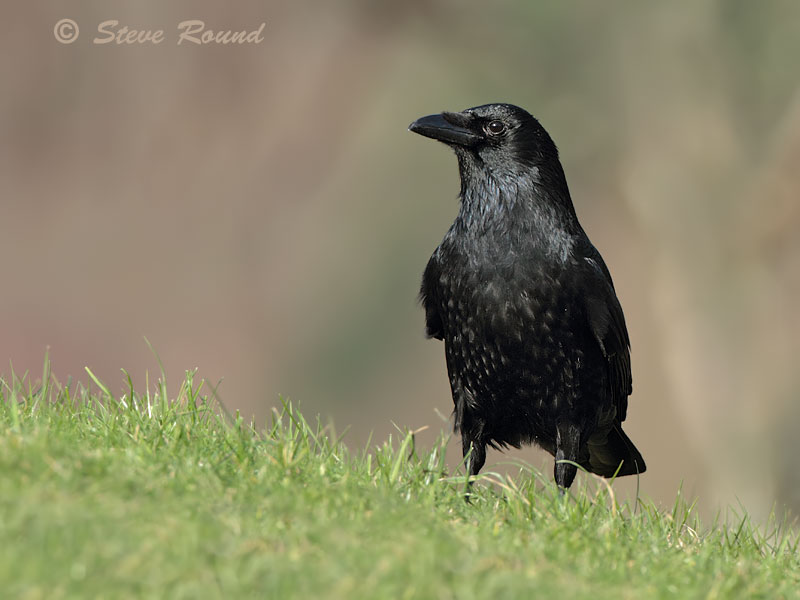 carrion crow, bird, corvid, nature, wildlife
