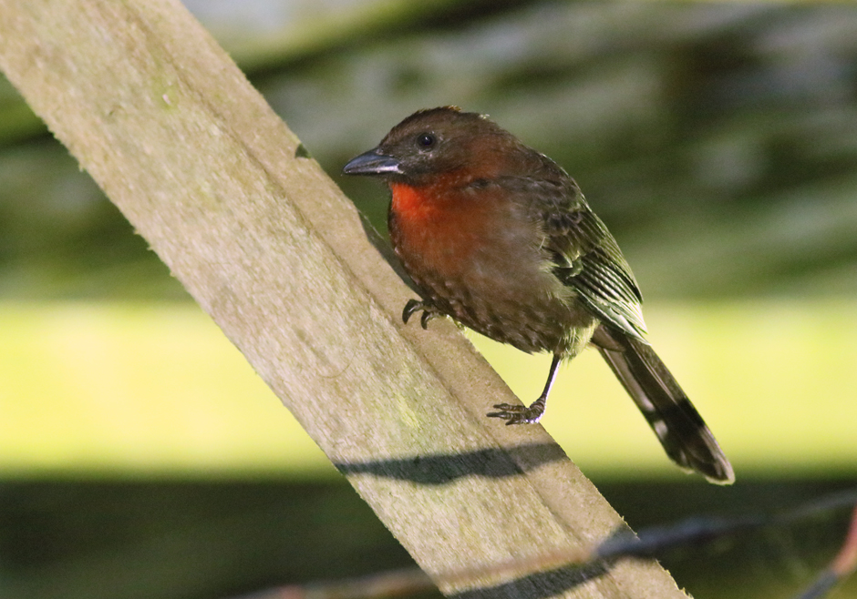 Orange Breasted Sparrow Birding Berrien...