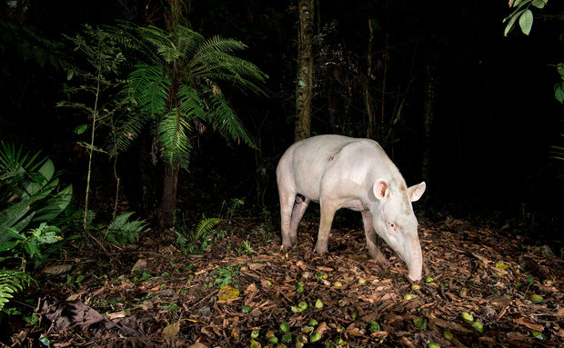 O primeiro registro de albinismo em anta na natureza no Brasil