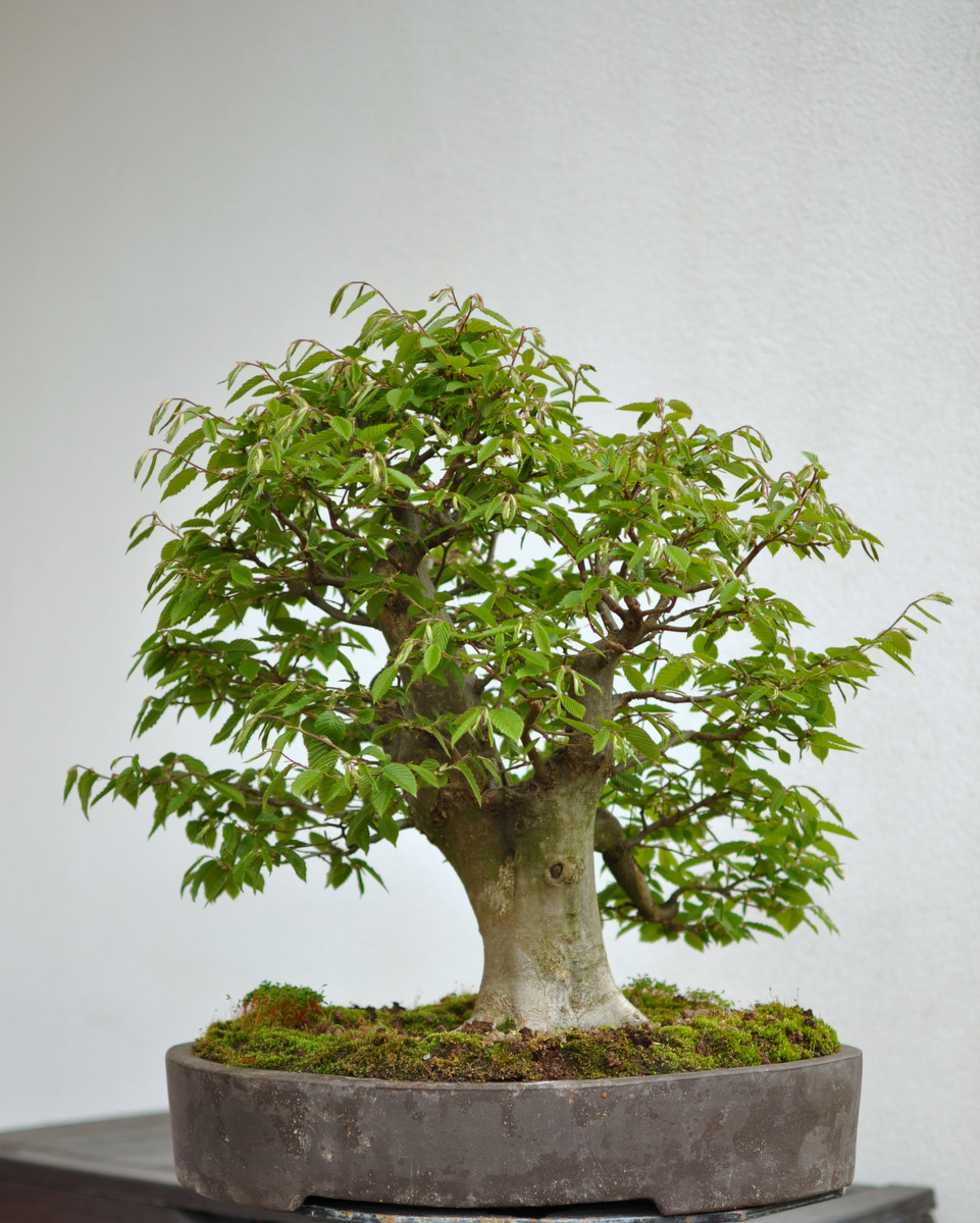 Maros Bonsai Blog Hornbeam No10 In Leaf