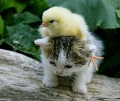 Kumpulan_gambar_kucing_gambar_hewan_lucu_ngakak_Gokil_Terbaru+(8).jpg