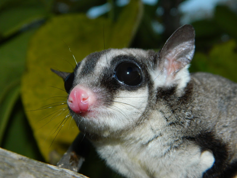 Black Beauty Sugar Glider