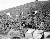 Valley Workers Harvest Grapes