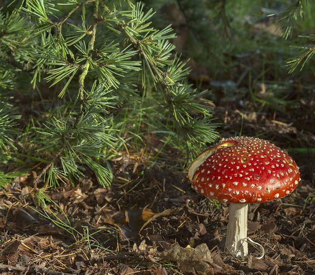 Amanita muscaria (Fly Agaric) under the glaucous form of the Atlas Cedar (Cedrus atlantica forma glauca).  Kelsey Park, 30 October 2012.