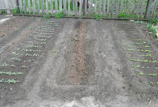 23 мая, редиска - слева, посев огурцов - центр, салат - справа