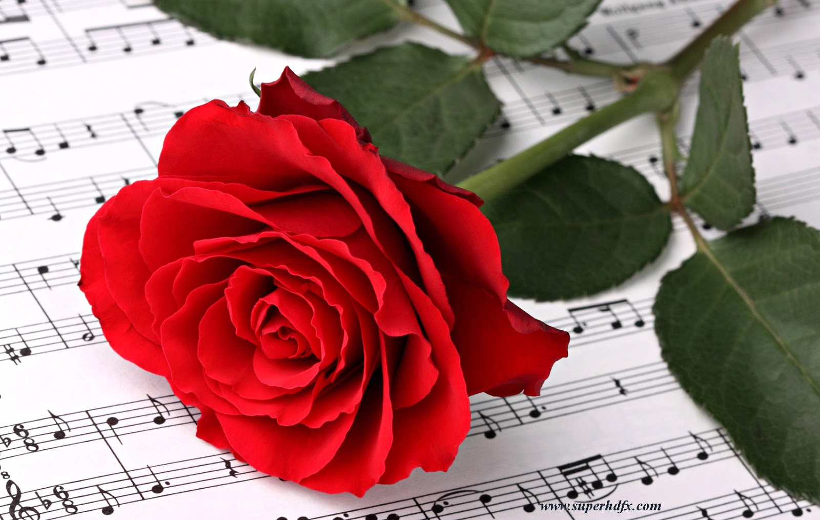 Cute Red Rose Images and Photos HD