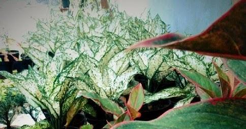 Tips Memupuk Tanaman Hias dalam Pot - Merawat Bunga